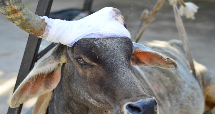 Donate for cow life